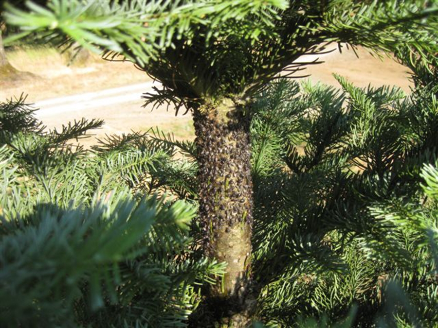 Christmas Tree Aphids.Conifer Aphids Osu Extension Catalog Oregon State University