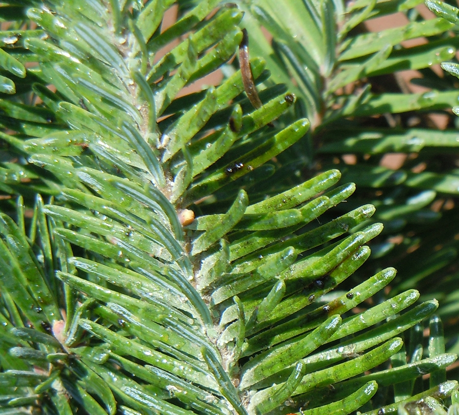 Conifer Aphids | OSU Extension Catalog | Oregon State University