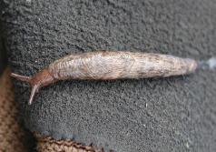 Grey field slug (Derocerus reticulatum). (Photo by Robin Rosetta, OSU.)