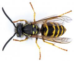 Vespula pensylvanica obrera. (Foto cortesía de Oregon Department of Agriculture.)