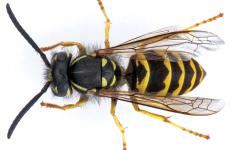 Vespula alascensis (vulgaris) worker. (Photo courtesy of Oregon Department of Agriculture.)
