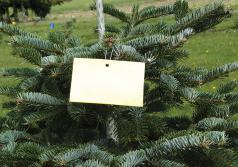 Tree tagged with sticky monitoring trap. (Photo by Chal Landgren, OSU.)