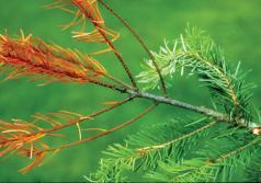 Rama con follaje rojo puede indicar daño causado por gorgojos. (Foto por Gary Chastagner, Washington State University.)
