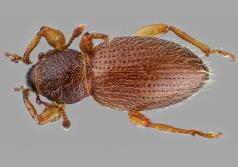 Juniper root weevil (Barypeithes pellucidus) adult. (Photo courtesy of Oregon Department of Agriculture.)