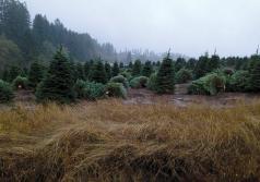 Árboles dejados en el suelo tienen más alta probabilidad de albergar babosas. (Foto cortesía de Oregon Department of Agriculture.)