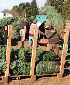 Bundled trees stored overnight on pallets. (Photo courtesy of Oregon Department of Agriculture.)