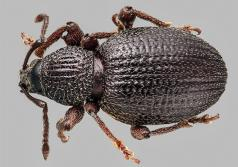 Photo of root weevil